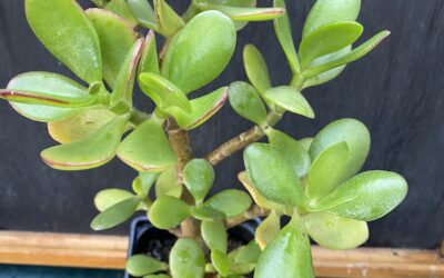 Crussula ovata ( Jade plant )