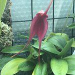 Masdevallia Hawaii Red