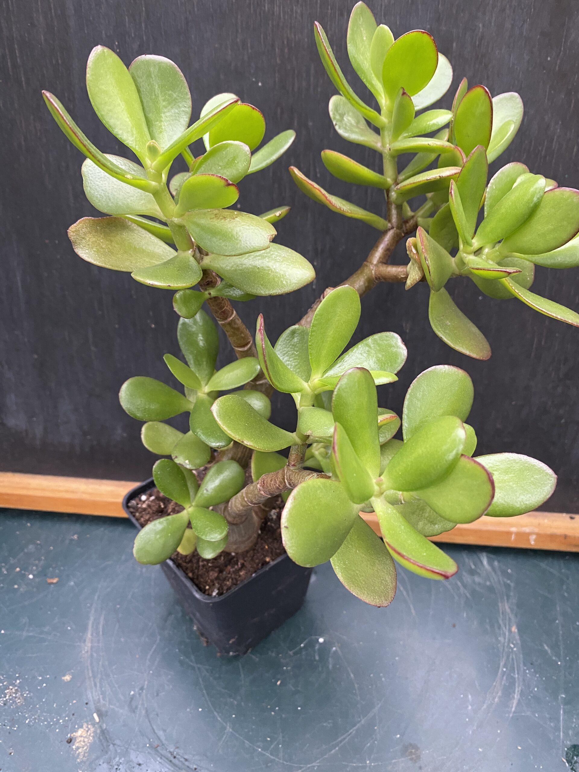 "Crussula Ovata ""Jade Plant"""