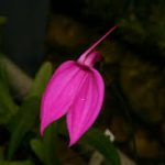 Masdevallia Amabilis Pink