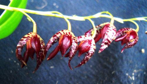 Pleurothallis Violacea