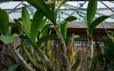 Dendrobium speciosum grandiflora