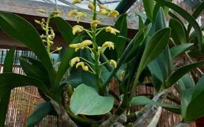 Dendrobium speciosum
