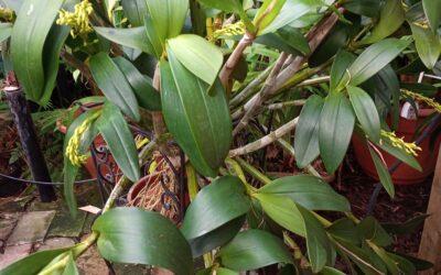 Dendrobium speciosum X Den Falcorostrum?