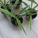 """Chlorophytum comosun """" Spider Plant"""" Bare Rooted Division"""