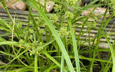 """Cyperus alternfolius """"Umbrella Plant"""""""