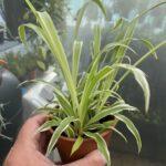"""Chlorophytum Comosun """"Potted"""" Spider Plant"""