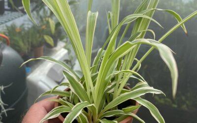 "Chlorophytum Comosum ""Spider Plant"""