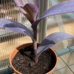 Tradescantia Pallida 'Purpurea' Potted Division in 9 cm pot