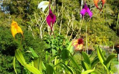 Masdevallia orchids wanted